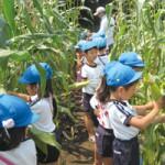 幼稚園で管理している「わんぱく農園」でとうもろこしを収穫する子どもたち。とうもろこしは子どもたちの背丈よりも大きく育ち、多数の実をつけました