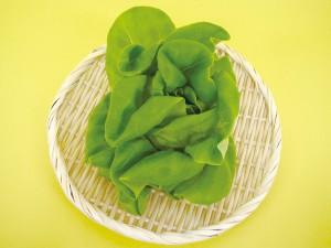 写真はサラダ菜。レタスも栽培